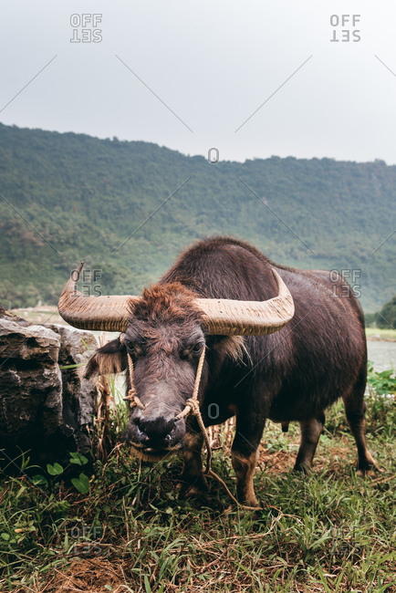 Wild Asian buffalo with big horn. Domestic animals in Vietnam