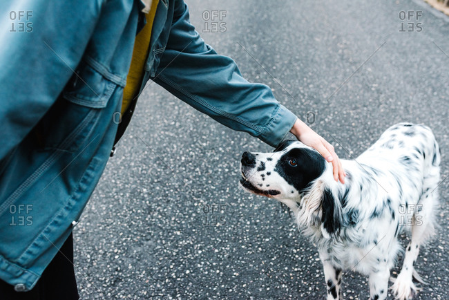 English setter dog with black spots standing on ground while being caressed by owner in park