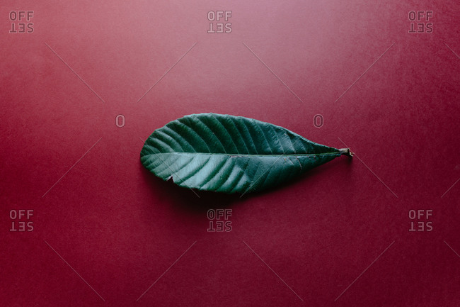Top view of fresh green leaf of nispero tree placed on dark red surface illustrating nature concept