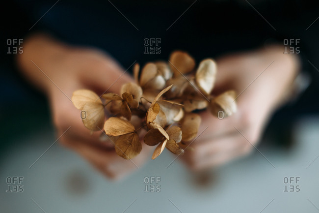 High angle of person in black clothes holding wilted Hydrangea flower with brown dry petals as concept of fragility and finiteness of life