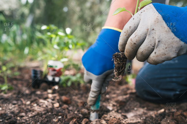 Crop anonymous person in gloves digging soil with small gardening shovel while planting seedlings in garden in spring day