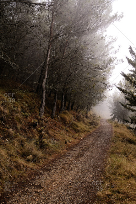 Empty narrow path among coniferous trees leading through foggy forest on cloudy autumn day