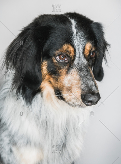 Closeup of cute fluffy mixed breed Bordernese or Border Collie Bernese Mountain Dog Mix looking away on white background