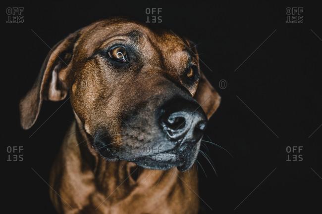 Purebred Ridgeback dog on black background