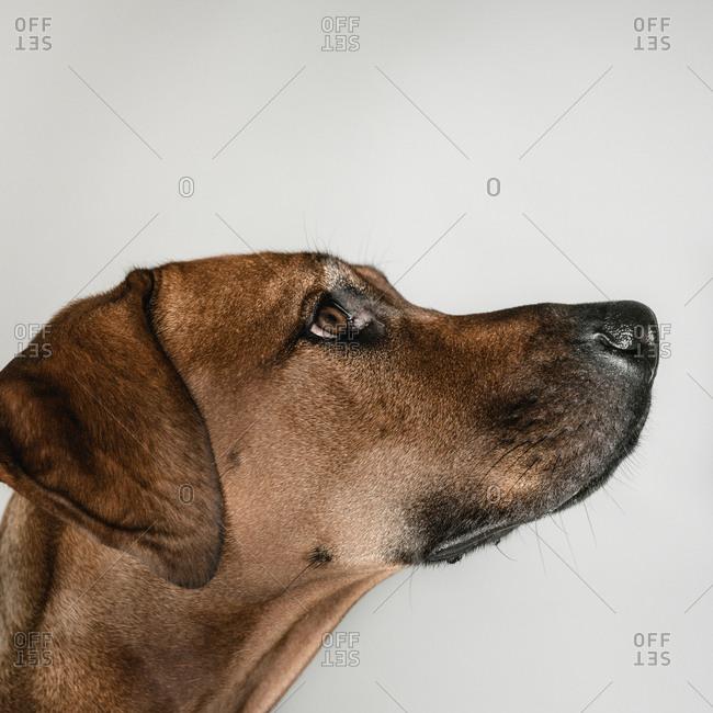 Purebred Ridgeback dog on white background