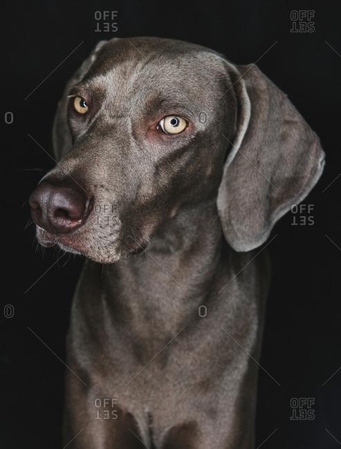 Funny Weimaraner dog on black background