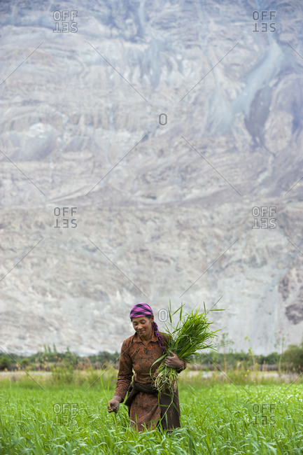 A woman works in the fields in the remote Nubra valley in Ladakh in India