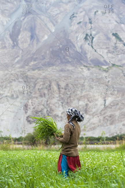 A woman clear away weeds in a wheat field in the Nubra valley in Ladakh in India