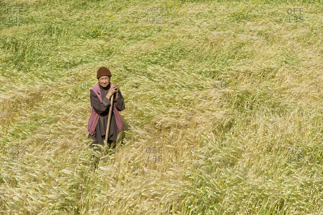 A woman working in a wheat field in Ladakh in India
