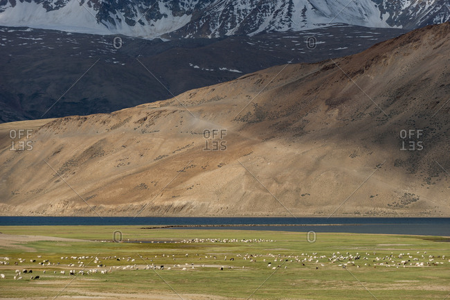 Large herds of sheep and goats at a nomad camp near Tso Moriri in India