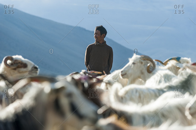 A nomad gathers his flock of sheep and goats in the morning