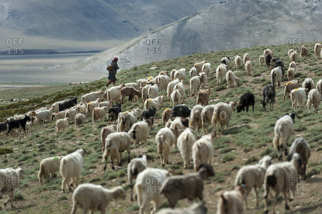 A nomad woman gathers her herd together in the morning to collect milk and brush them to extract cashmere wool in Ladakh in India