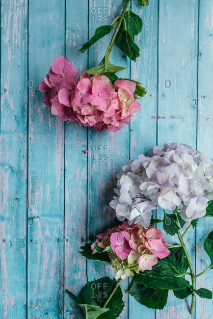 Beautiful hydrangea flowers on turquoise background