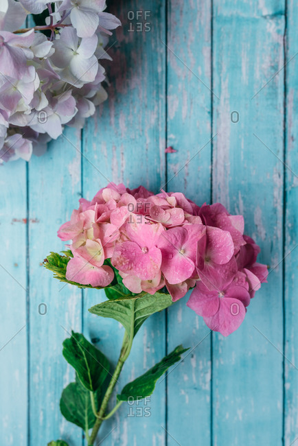 Pretty hydrangea flowers on turquoise background