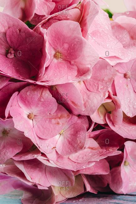 Close up of hydrangea flower petals
