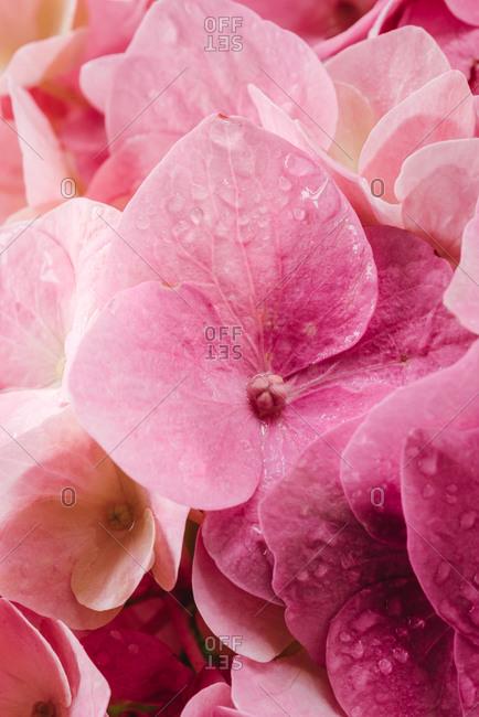Close up of pink hydrangea flower petals