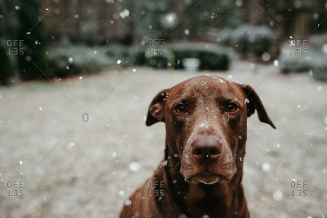 Brown dog sitting in the snow