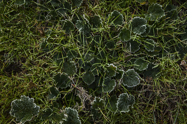 Frost covered grass and plants in early spring