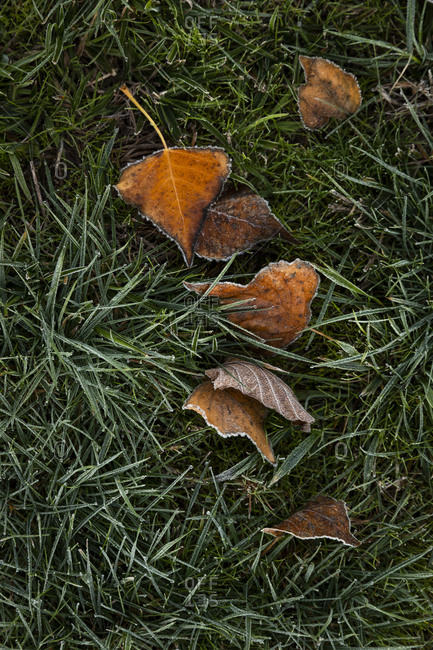 Fallen leaves in frost covered grass