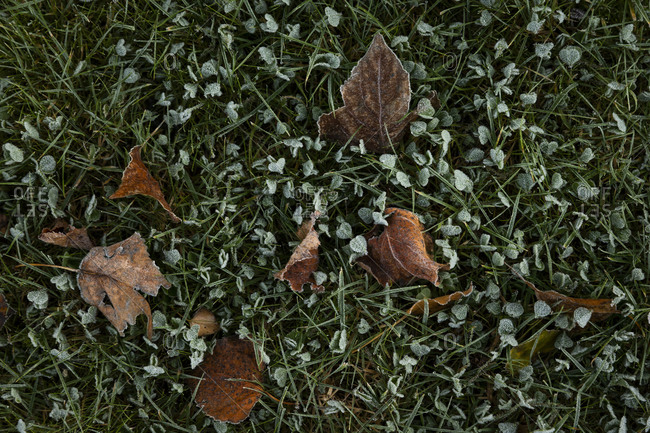 Brown fallen leaves in frost covered grass