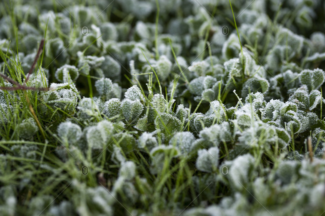 Extreme close up of frost covered grass and plants in early spring