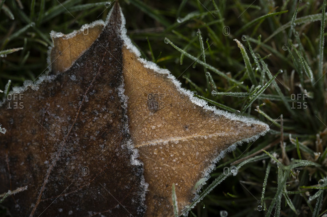 Close up of brown fallen leaves in frost covered grass