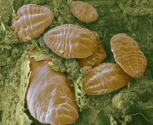 Scale insects. Colored scanning electron micrograph (SEM) of scale insects (superfamily Coccoidea) on a leaf. This pest feeds on the plant's sap. It secretes a powdery wax coating that protects it against pesticides and predators. Magnification: x50 when printed at 10 centimeters wide.