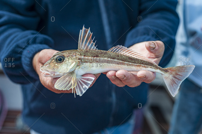 Holding a freshly caught Gurnard on a fishing boat in Cornwall