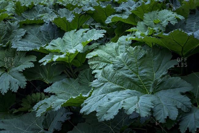 Giant beautiful leaves of the Gunnera plant at Glendurgan Gardens on the Lizard peninsula in Cornwall