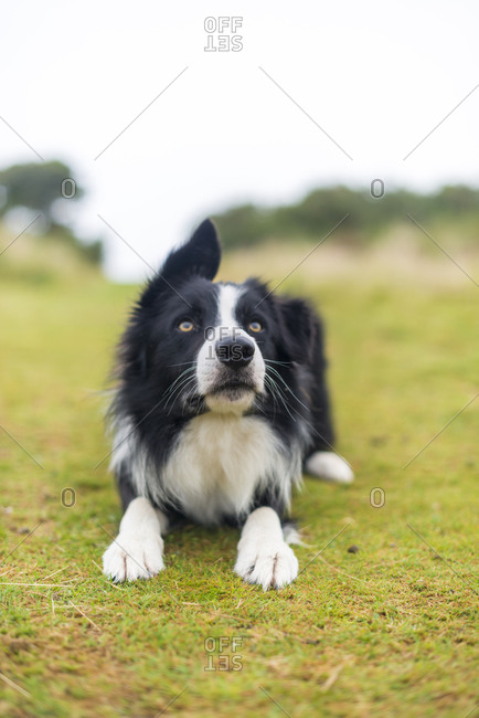 A Border Collie dog waits patiently