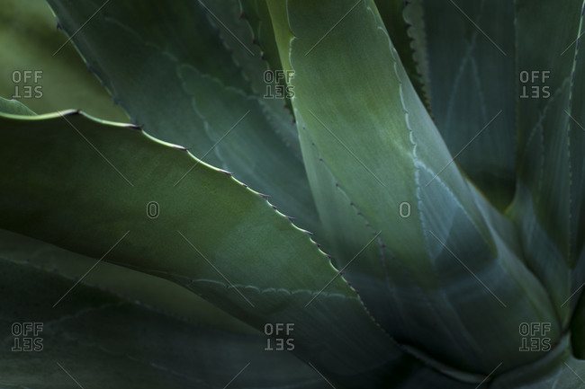 Close up of the leaves of the giant gave Americana Cactus at Glendurgan in Cornwall