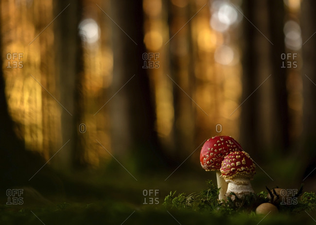 Close-up of two fly agarics (Amanita muscaria) growing in forest