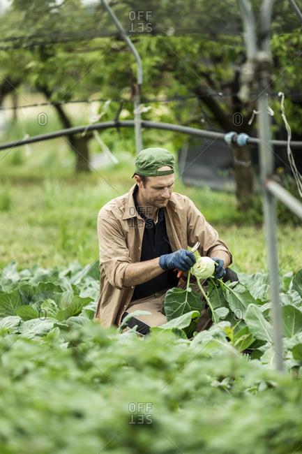 Organic farmer harvesting kohlrabi in greenhouse