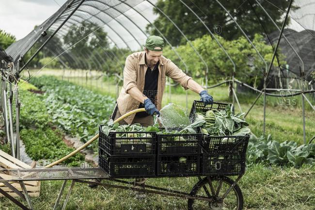 Organic farmer washing harvested kohlrabi in boxes