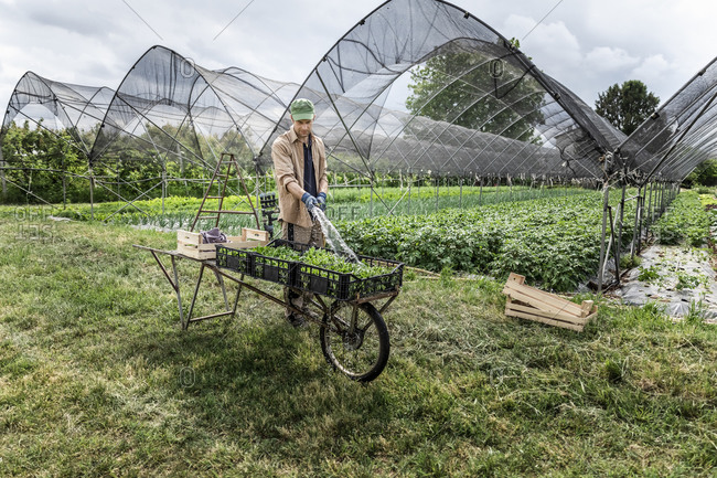 Farmer washing organic seasonal vegetables at greenhouse