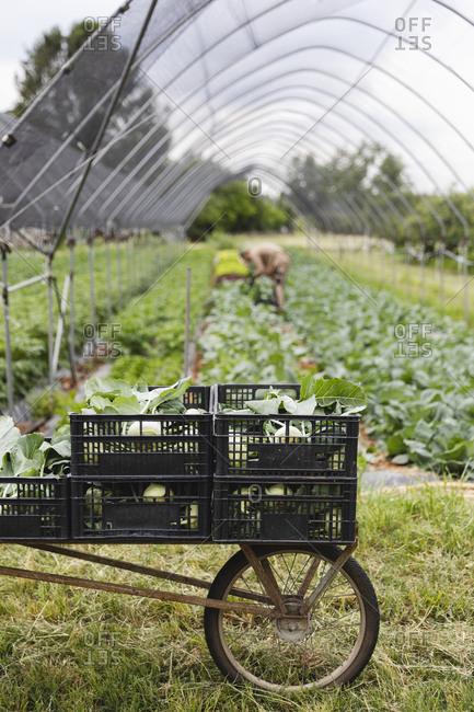 Organic farmer harvesting kohlrabi- boxes on wheelbarrow