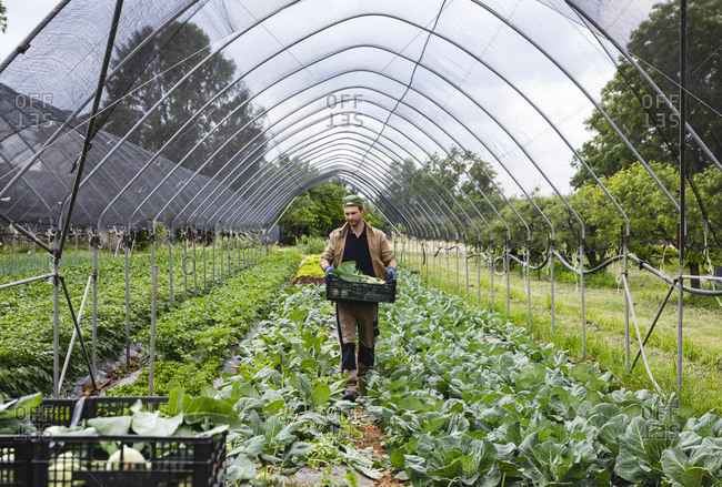 An organic farmer harvesting kohlrabi