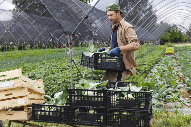 Organic farmer with harvested kohlrabi in box