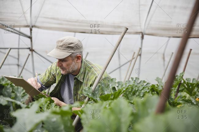 Farmer checking courgette plants- organic farming