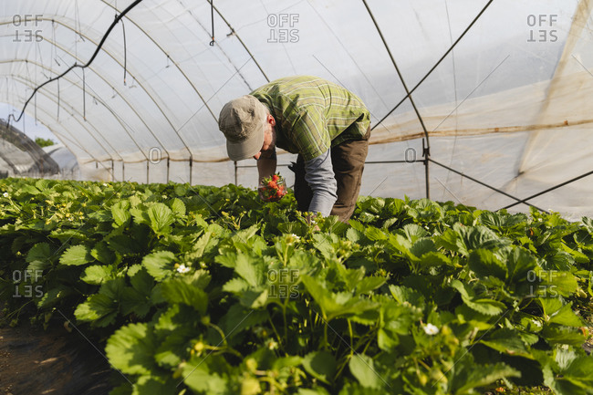 Organic strawberry cultivation and farm worker