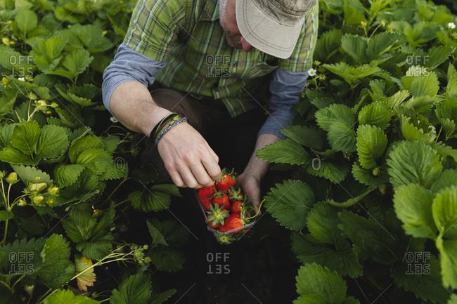 Farmer picking strawberries- organic farming