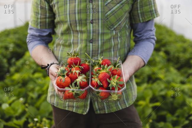 Farmer holding freshly picked strawberries- organic farming