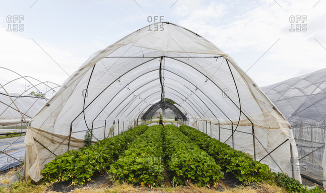 Organic greenhouse cultivation of strawberries- Verona- Italy