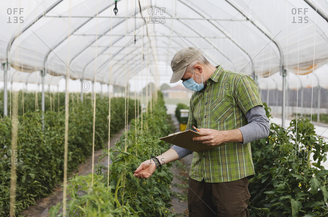 Farmer with mask in the greenhouse with organic cultivation of tomatoes