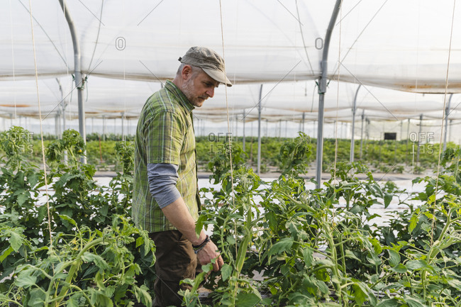 Farmer in the greenhouse with organic cultivation of tomatoes