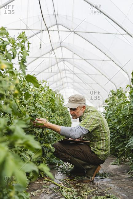 Farmer checking tomato plants in greenhouse- organic farming