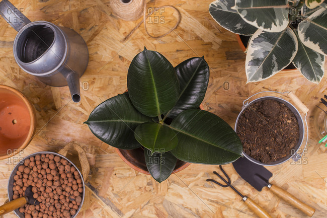 Various gardening equipment and potted rubber fig (Ficus elastica) plant
