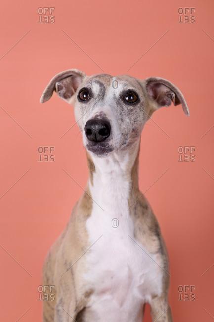 Studio portrait of anEnglish Greyhound