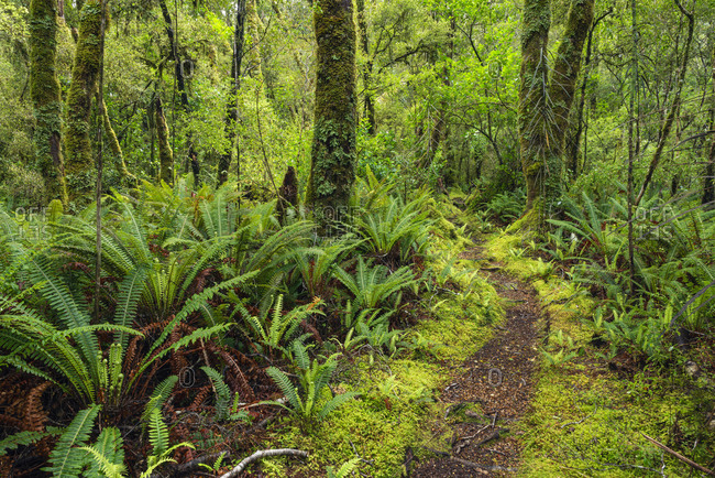 New Zealand- Southland- Footpath in Tutoko Valley rainforest