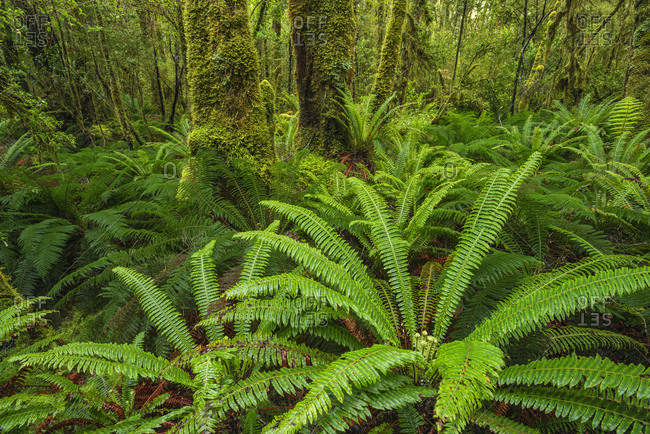 New Zealand- Southland- Lush ferns of Tutoko Valley rainforest